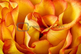 Orange rose petals texture background