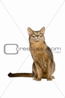 Abyssinian cat intently looking up