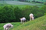 Lambs on the hill at Burrow Mump in Somerset