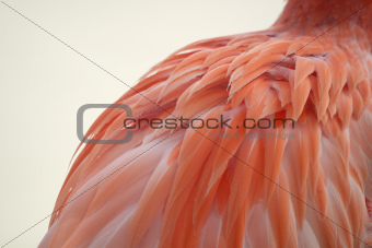Flamingo's Feathered Back