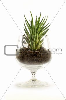 Succulent in a beaker filled with soil
