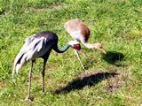 White-naped Crane