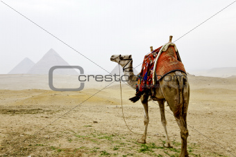 a camel and the pyramids of giza