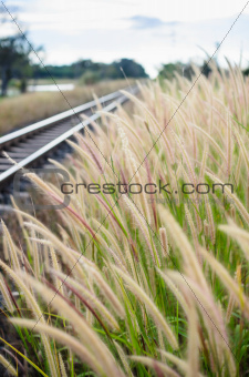Foxtail weed and railway in the nature