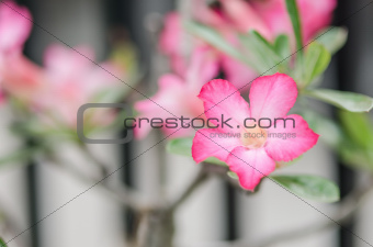 Azalea flowers in Thailand