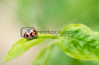 ladybug macro in the green nature
