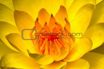 Beautiful yellow water lily close-up