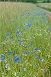 blue cornflowers