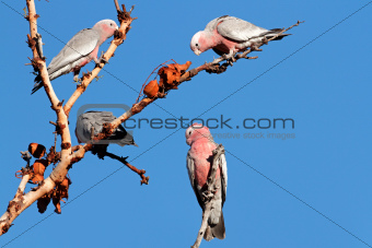 Galah Cockatoos, Australia 
