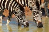 Plains zebras drinking