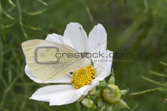 Small White Butterfly (Pieris rapae) on White Cosmos