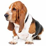 Profile of a healthy basset hound