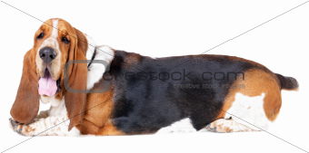Basset hound in perfect health