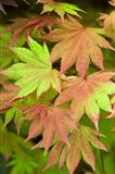 acer shirasawanum 'autumn moon' summer foliage