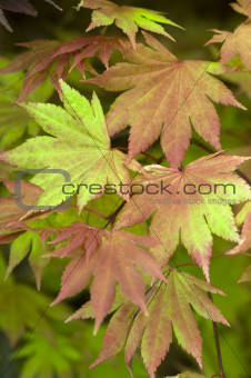 acer shirasawanum 'autumn moon' summer foliage