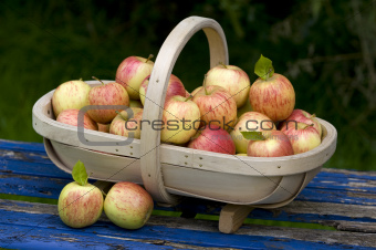 fresh apples in a wooden trug