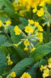 cowslip or primula