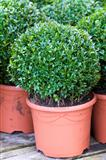 buxus sempervirens 