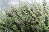 thyme herb growing