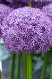 allium flower pinball wizard