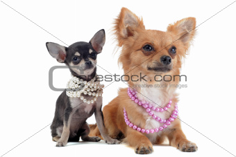 chihuahuas with pearl collar