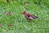Chaffinch bird
