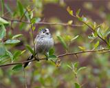 Long-Tailed Tit (Aegithalos caudatus)