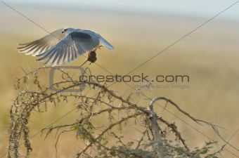 Black-shouldered Kite catching the mouse