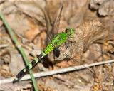 Eastern (Common) Pondhawk dragonfly