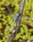 Eastern (Common) Pondhawk dragonfly