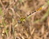 Eastern Ringtail dragonfly