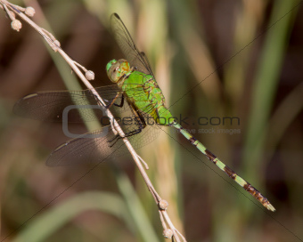 Great Pondhawk dragonfly