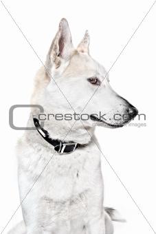 Noble dog