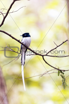 White-Morph Asian Paradise Flycatcher (Terpsiphone paradisi) Perched on Tree Branch