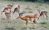 Gerenuk with his family