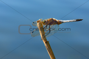 Dragonfly - Broad-bodied Chaser