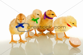 Colorful gang - small chicks with scarves