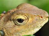 Portrait of a Monitor Lizard