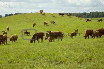 cattle Limousine