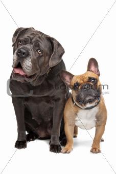 Cane Corso and French Bulldog