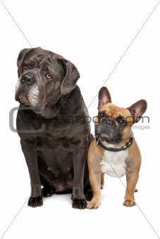 Cane Corso and French Bulldog