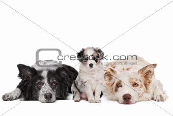 Three border collie dogs