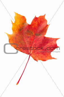 red fallen autumn leaf