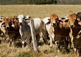 Australian brahma beef cattle line along a fence