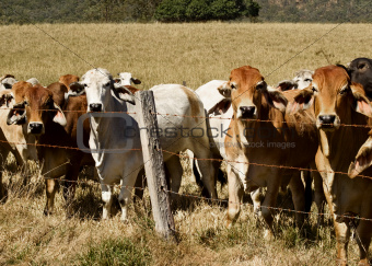Australian brahma beef cattle line along a fence