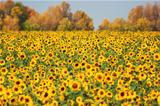 Autumn landscape sunflowers field
