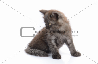 a little persian kitten isolated on white
