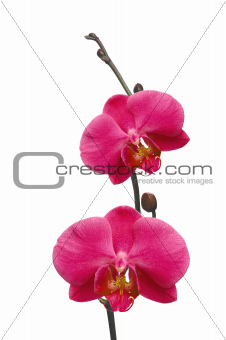 Beautiful red orchid isolated on white