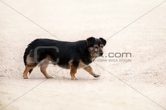homeless black and brown dog on yellow sand