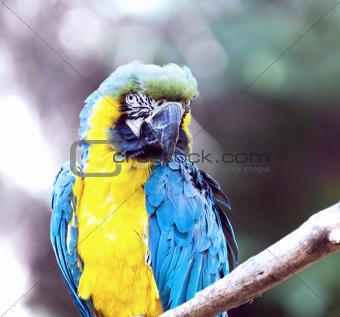 Ara ararauna parrot - portrait